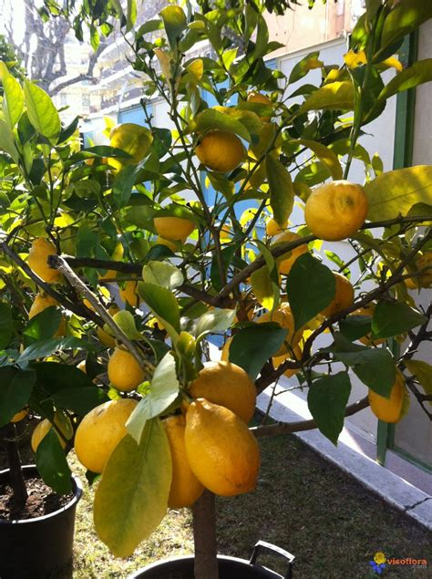 photo citronnier en pot et citrons