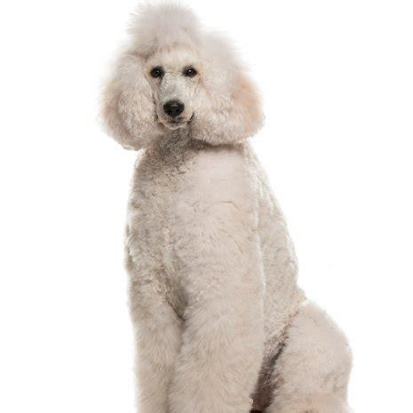 waar vind ik koningspoedel pups te koop dogcatandco