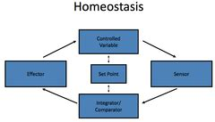 homeostasis  objectives flashcards quizlet