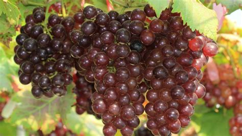 10 Things You Didnt Know About Grapes Youtube