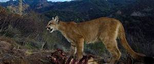 Mountain Lions That Make L.A. a Wild Place Are Under ...