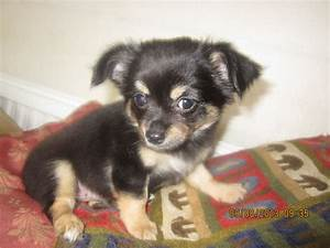 black long haired chihuahua puppies