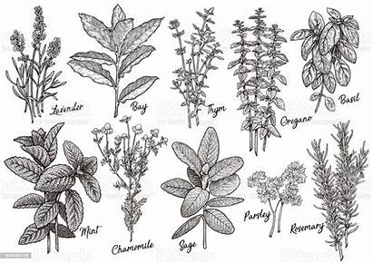 Herbs Drawing Line Spices Vector Ink Illustration