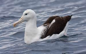 Albatross Bird Facts