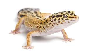 100 basking l for leopard gecko a guide to vivarium lighting vivarium world leopard