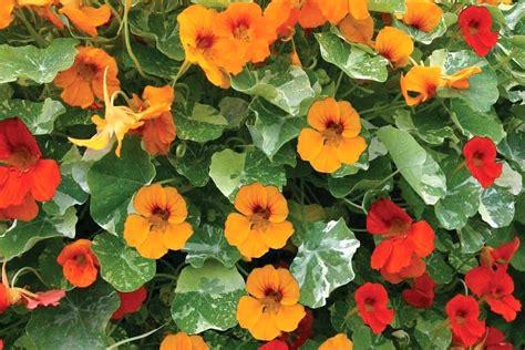 Kletterpflanze Schatten Winterhart by Kletterpflanzen Als Sichtschutz Fa 1 4 R Balkon Und