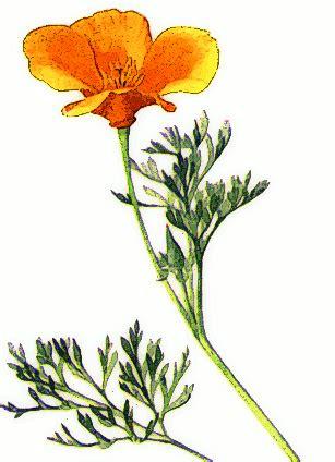 golden poppy plantsflowersggoldenpoppypnghtml