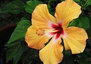 Tips, On, Caring, For, Hibiscus, Plants