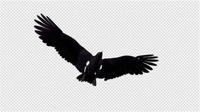 Raven Flying 4k Transition Videohive