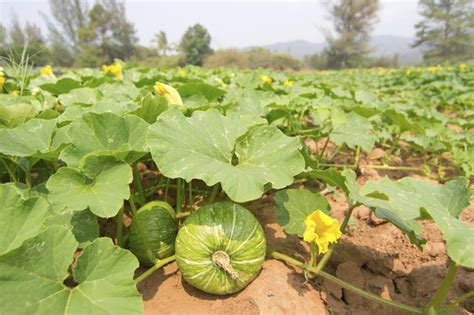 when to plant when to plant pumpkins seeds hunker