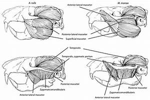 Lateral Views Of The Jaw Adductor Muscles Of A  Rufa And M