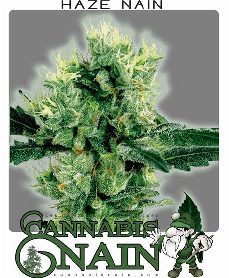 faire pousser cannabis exterieur graines de cannabis nain
