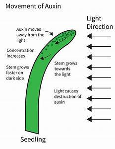 What Are Plant Auxins  And How Do They Affect Plant Growth