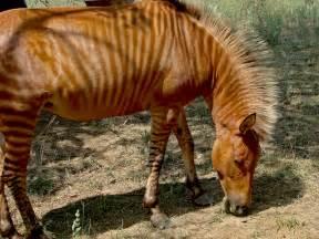 Golden Zebra Horse