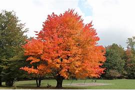Viewing Gallery For - ...Sugar Maple Tree