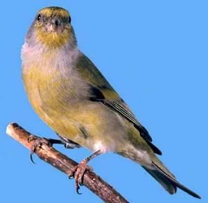Oiseau Jaune Et Bleu : oiseau a ventre jaune laplusbellehistoiredetouslestemps ~ Melissatoandfro.com Idées de Décoration