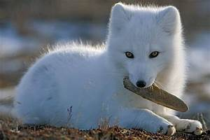 Baby Arctic Fox Pictures, Photos, and Images for Facebook ...