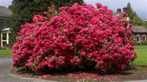best 25 azalea bush ideas on