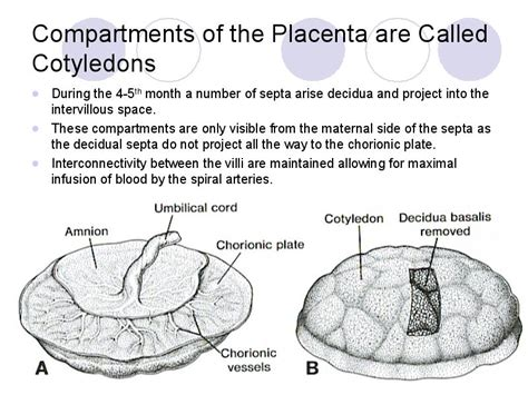 what is a cotyledon compartments of the placenta are called cotyledons