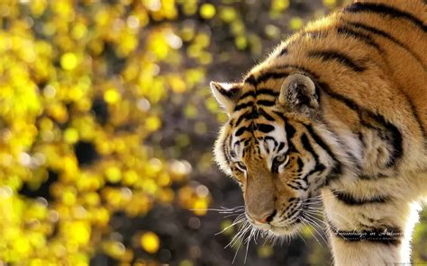 Tiger Hdtv Wallpapers Golden Pictures