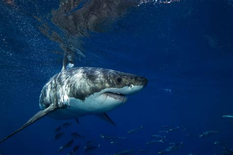 Great White Sharks In California, Mexico Dying As Bycatch