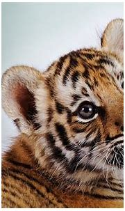 Cute Baby Tiger Wallpapers - Wallpaper Cave