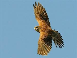 Beautiful Falcon Flying Falcon – Animals Birds HD Desktop ...