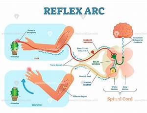 Spinal Reflex Arc Anatomical Vector Illustration Diagram