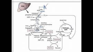 Protein 4 - Protein Metabolism