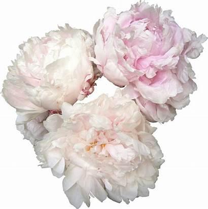 Peonies Pink Blush Flower Flowers Pivoines Transparent