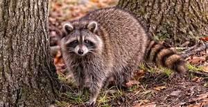 Que Donner A Manger A Un Ecureuil Sauvage : se d barrasser d un raton laveur chez vous que faire ~ Dallasstarsshop.com Idées de Décoration