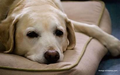 Labrador Lab Yellow Wallpapers Dog Desktop Retrievers