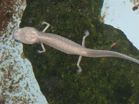 texas blind salamander photo