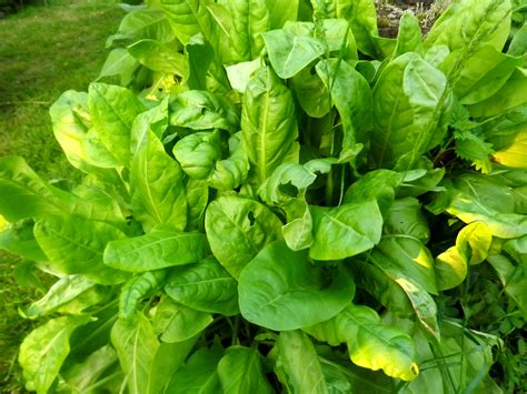 des légumes vivaces pour un potager éternel l 39 oseille 2