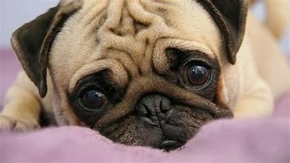 Pug Puppies Puppy Eyes Snout Lie Mac