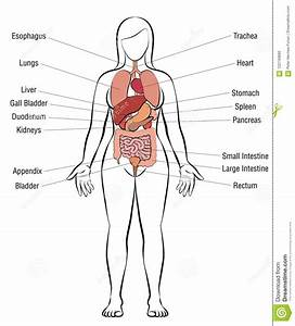 Human Anatomy Diagrams