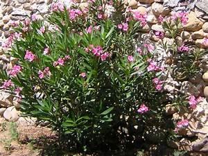 Laurier Rose Entretien : cultiver un laurier rose en pot ~ Melissatoandfro.com Idées de Décoration
