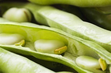 cucinare le fave fresche come cucinare le fave fresche ohga