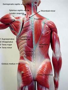 Back muscles - Biology 160: Human Anatomy & Physiology | A ...