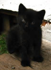 baby black cat black cats on black cats black kittens and
