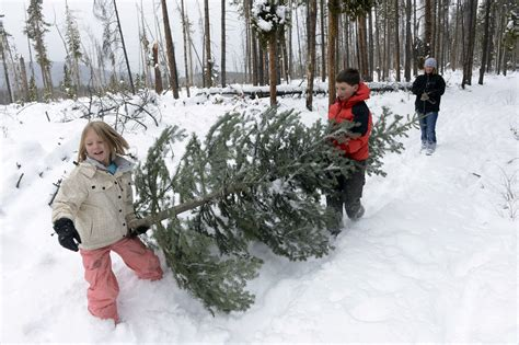 Fraser Christmas Tree Cutting by U S Forest Service Declares Open Season On Christmas