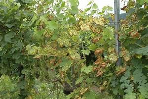 Pockenmilbe Wein Bekämpfung : esca weinbau wikipedia ~ Lizthompson.info Haus und Dekorationen
