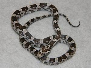 Anerythristic Corn Snakes for Sale. Buy a Anerythristic ...