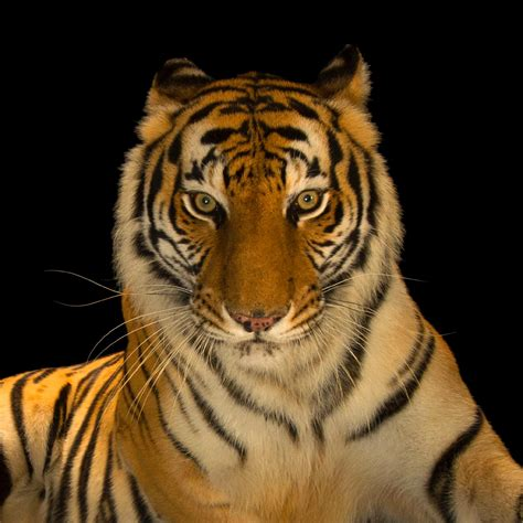 tiger bengal geographic national animals india super tigers endangered mammals backgrounds female zoo most