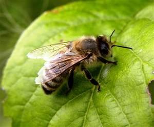Bienen Und Wespen : stehen wespen unter naturschutz wespen entfernen alle infos ber wespenentfernung insekten ein ~ Whattoseeinmadrid.com Haus und Dekorationen