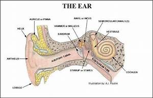 Human Ear Diagram With Label