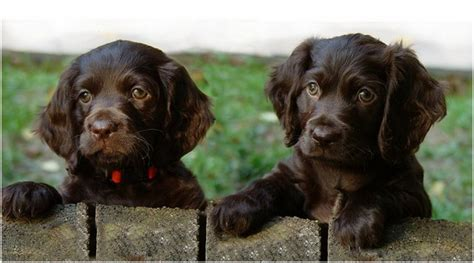 boykin spaniel puppies breeders rescue facts