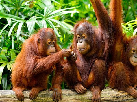 jungle  borneo island malaysia cute family orangutans