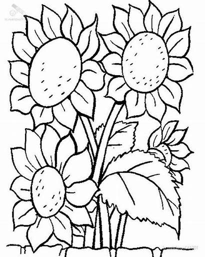 Coloring Sunflower Plants Lovely