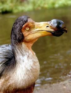 Dodo | Info-History and Photos | The Wildlife